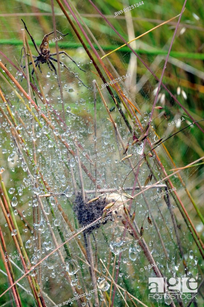 Stock Photo Nursery Web Spiders Fisher Fishing Pisauridae With Nest In Morning Dew Germany