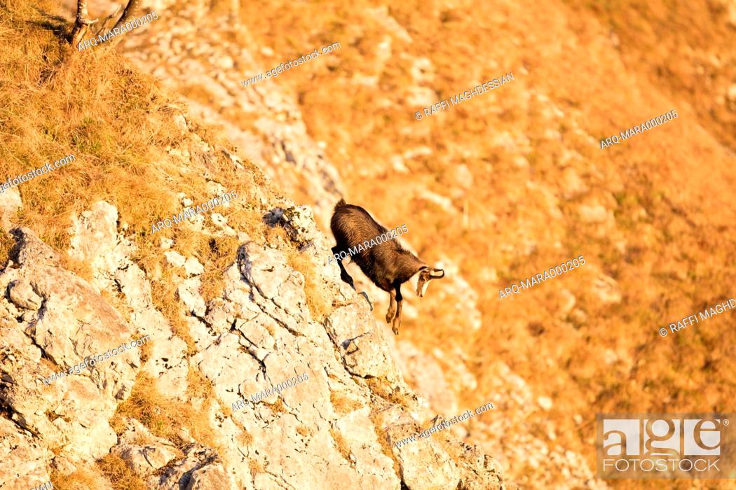 Stock Photo: Chamois Descend From Rocky Steep Slope During Sunset In Switzerland.