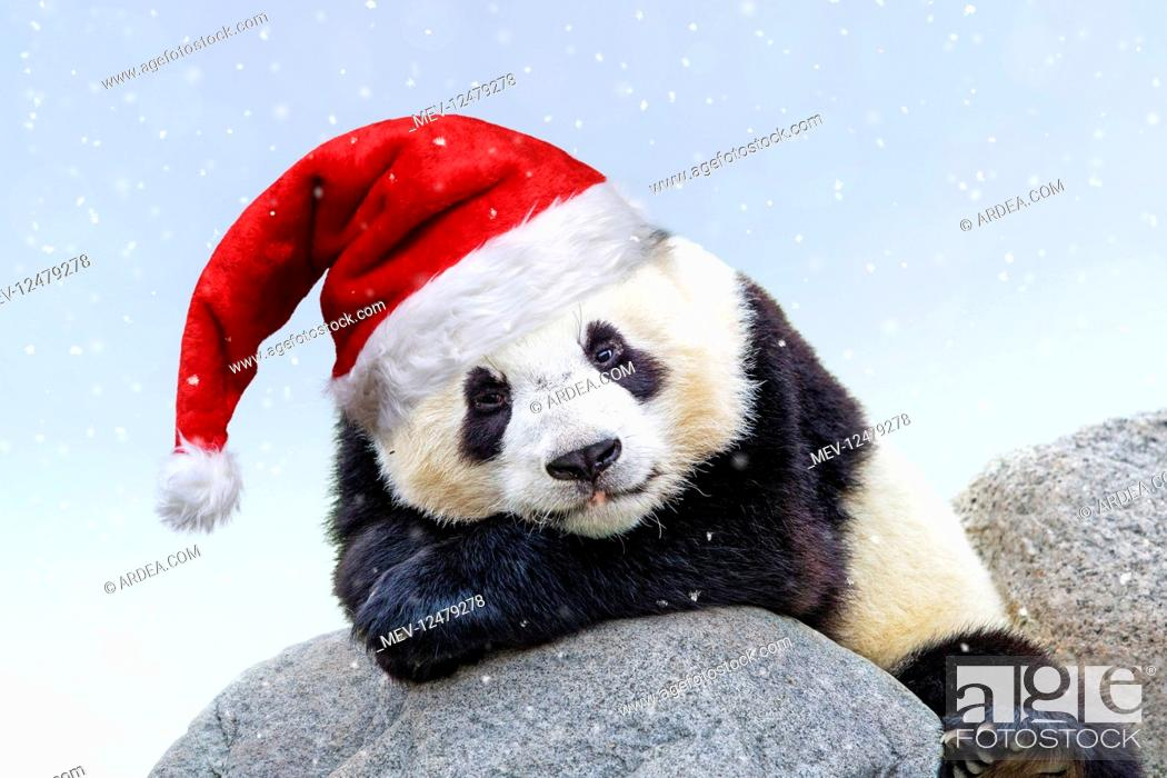 Stock Photo: Giant Panda, wearing Christmas hat in falling snow.