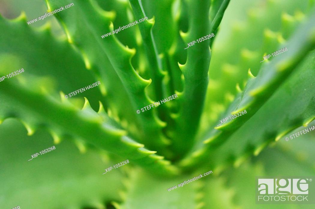 Stock Photo: Candelabra aloe Aloe arborescens.