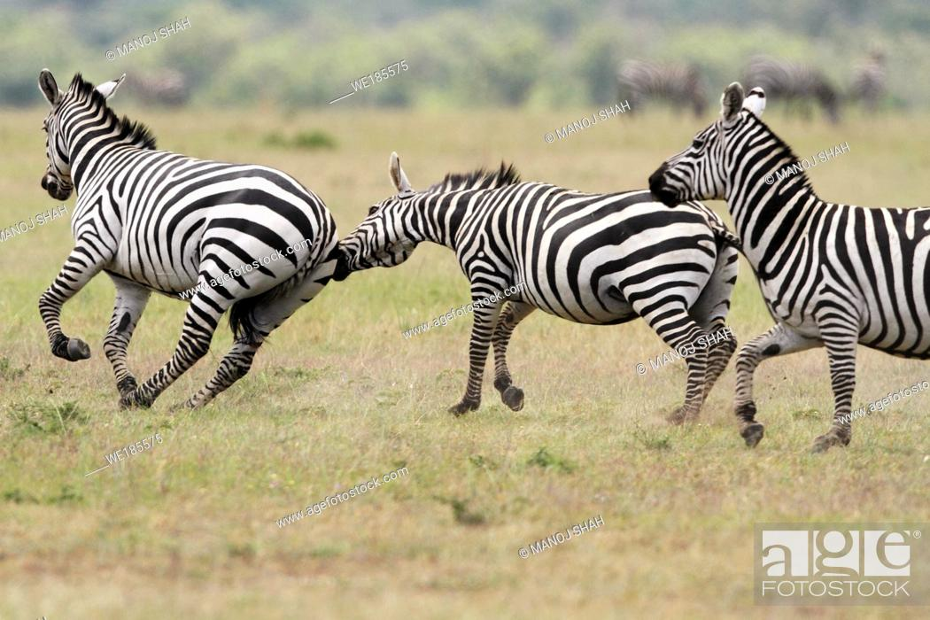 Stock Photo: Three Burchell's Zebras, Masai Mara National Reserve, Kenya.