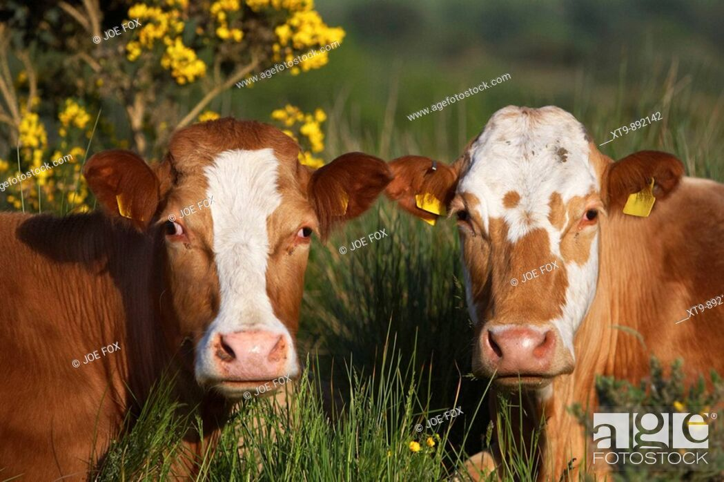 Stock Photo: two brown and white cows with ear tags looking to camera in ireland.