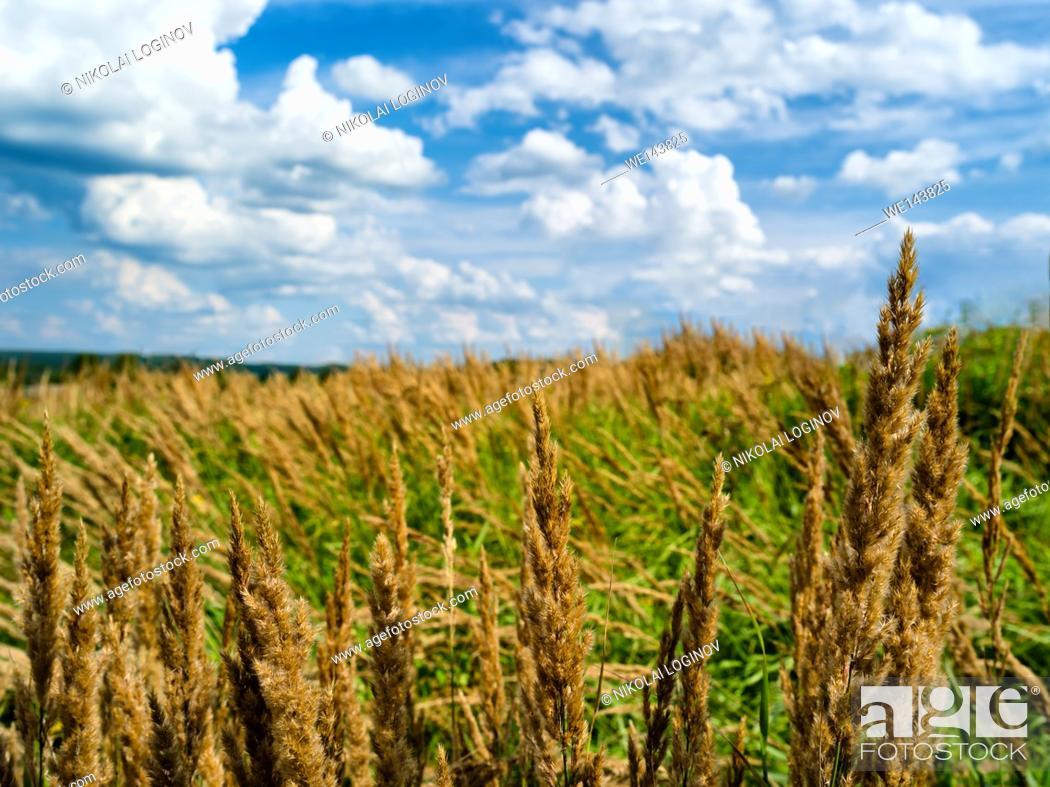 Stock Photo: Horizontal rye corn summer field landscape bokeh.