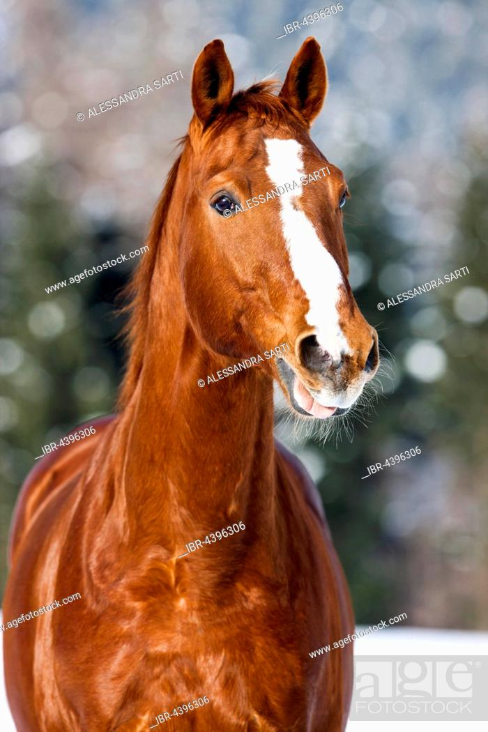 Stock Photo: Hanoverian horse with brown reddish fur, snow backdrop, Tyrol, Austria.