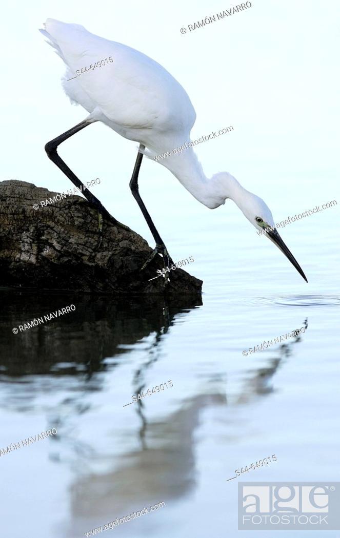 Stock Photo: Little Egret (Egretta garzetta), Doñana National Park. Andalucia, Spain.