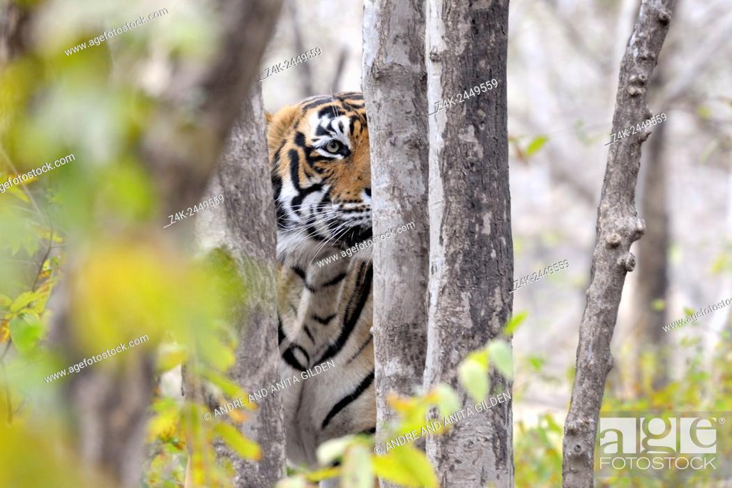 Imagen: Bengal Tiger (Panthera tigris tigris) stalking from behind a tree, Ranthambhore national park, Rajastan, India.