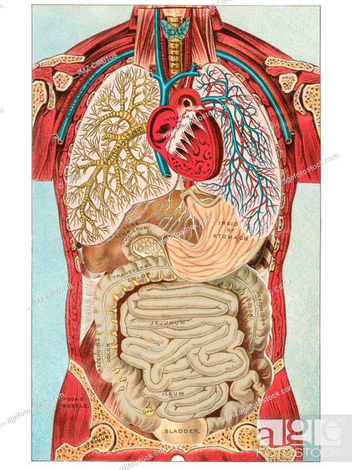 Stock Photo: A vintage diagram of the different internal organ systems in the human body.