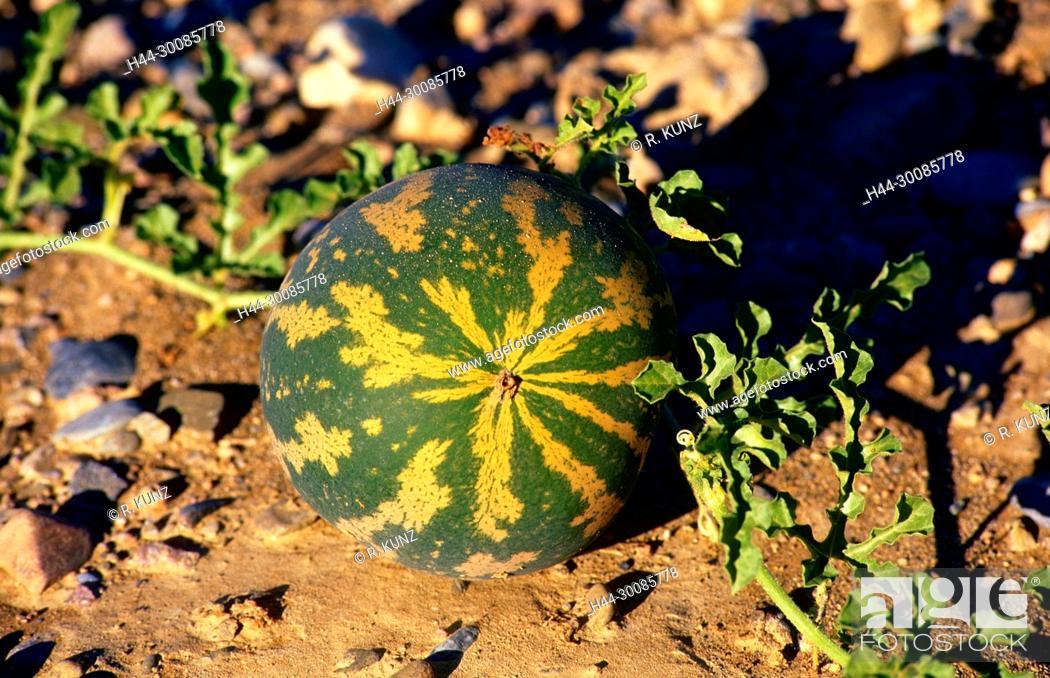 Stock Photo: Namib Tsamme, Cittrulus ecirrhosus, Cucurbitaceae, Tsamma, fruit, plant, desert, Namibia.