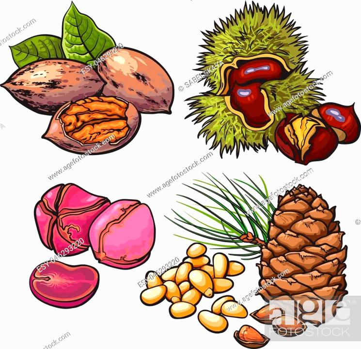 Stock Vector: Collection of walnuts, chestnuts, pine nuts and peanuts vector illustration isolated on white background. Set of fresh and ripe seasonal cedar nut walnut.