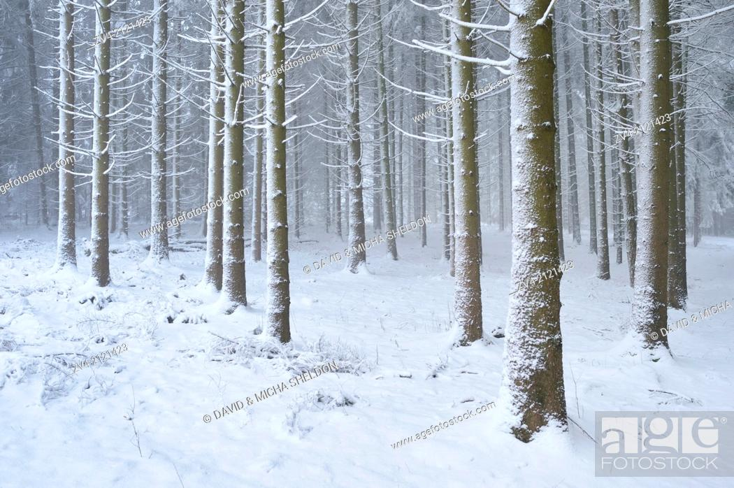 Stock Photo: Landscape of a forest with Norway Spruces (Picea abies) in winter, Germany.