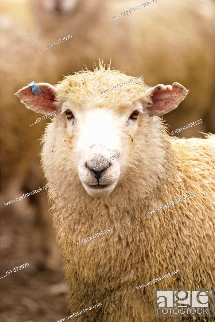 Stock Photo: Ewe portrait. Atholl. New Zealand.