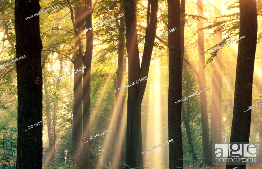 Stock Photo: Sunrays shining through forest. Saxony, Germany.