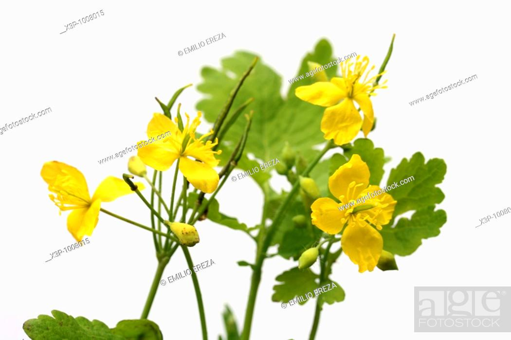 Stock Photo: Celandine Chelidonium majus.