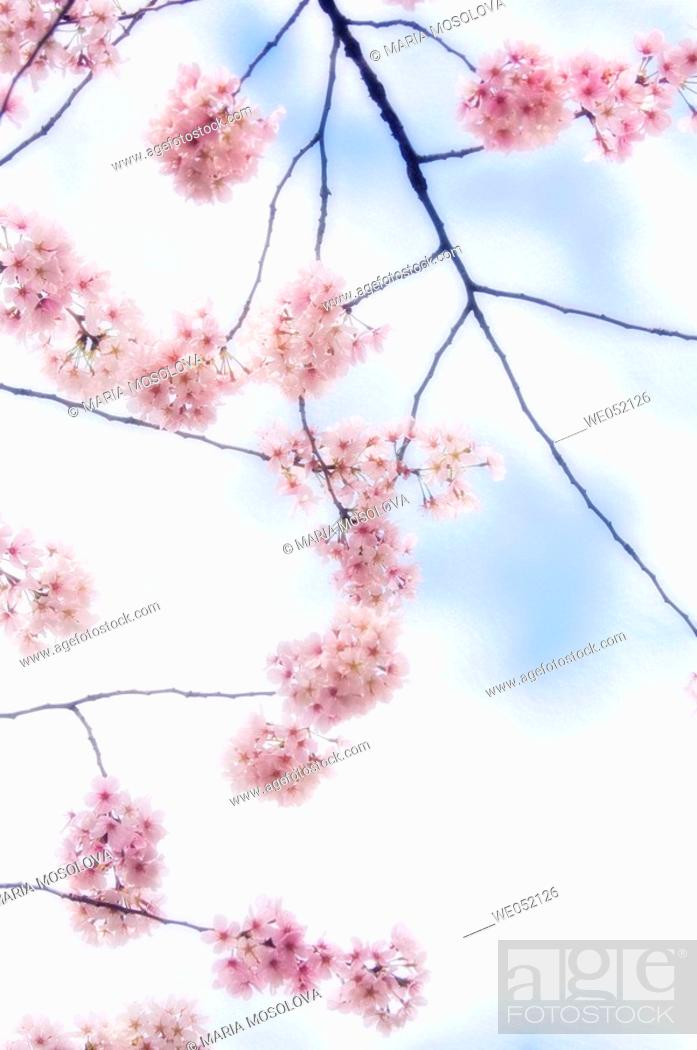 Stock Photo: Weeping Higan Cherry (Prunus subhirtella 'Pendula'). Maryland, USA (April, 2006).