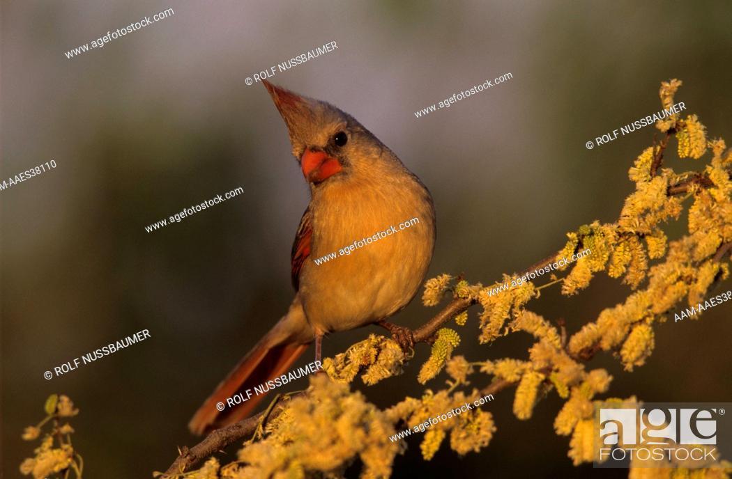 Northern Cardinal Cardinalis Cardinalis Female On Blooming