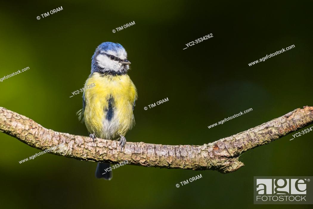 Stock Photo: A Blue Tit (Parus caeruleus) in the uk.