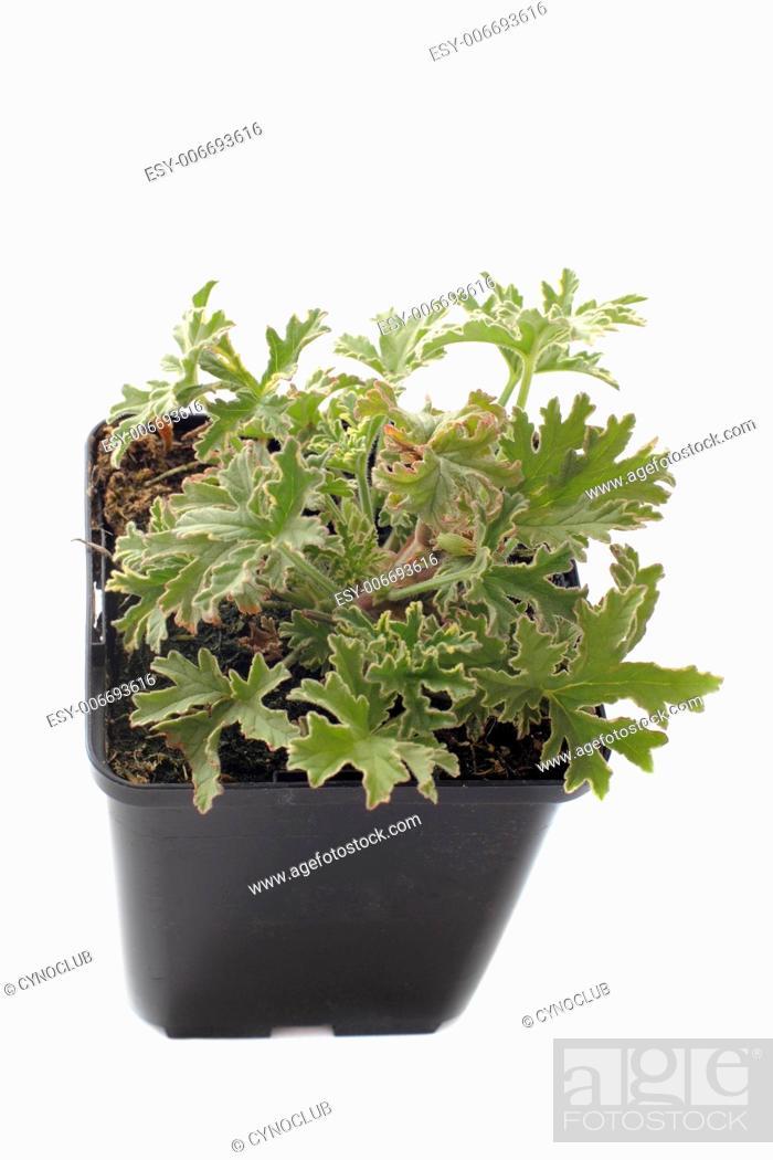 Stock Photo: Pelargonium citronnellum in front of white background.