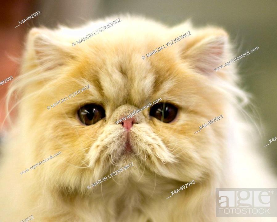 Stock Photo: FIFe International Cat Show in Hamburg, Germany 2009, Persian cat.