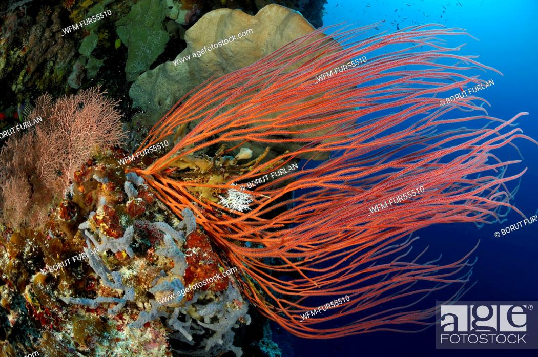 Stock Photo: Coral Reef with Whip Coral, Ellisella ceratophyta, Alor, Indonesia.
