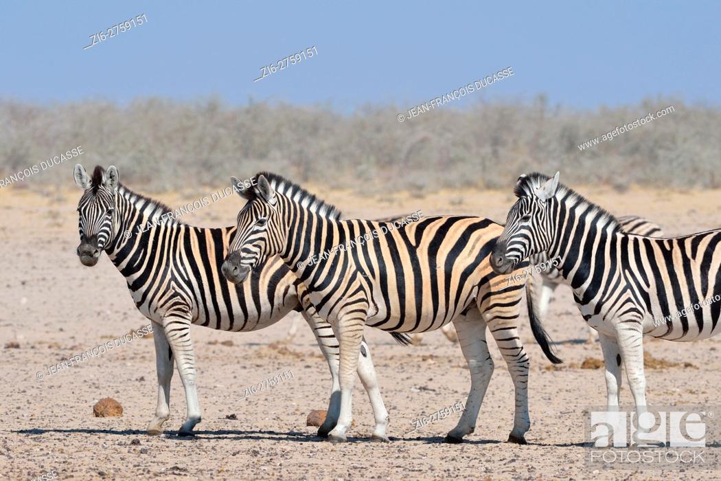 Stock Photo: Burchell's zebras (Equus quagga burchellii), standing on arid ground, Etosha National Park, Namibia, Africa.