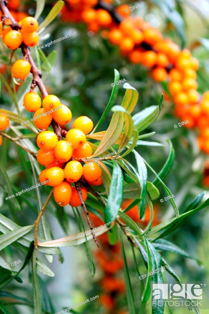 Stock Photo: branch of sea buckthorn berries.