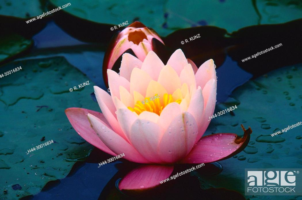 Stock Photo: Hybrid-Water lily, Nymphaea-Hybrid, Nymphaeaceae, Water lily, blossom, flower, water plant, Chrümmi, nature reserve, Grosses Moos, Kerzers, Canton of Fribourg.
