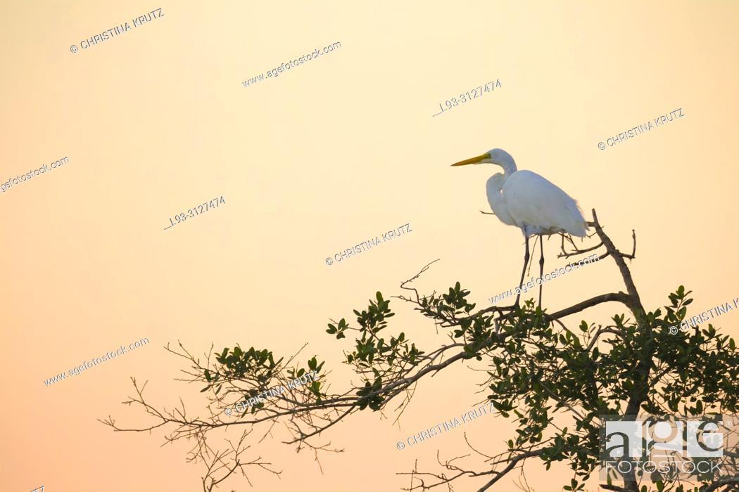 Stock Photo: Great egret, Egretta alba, on tree.
