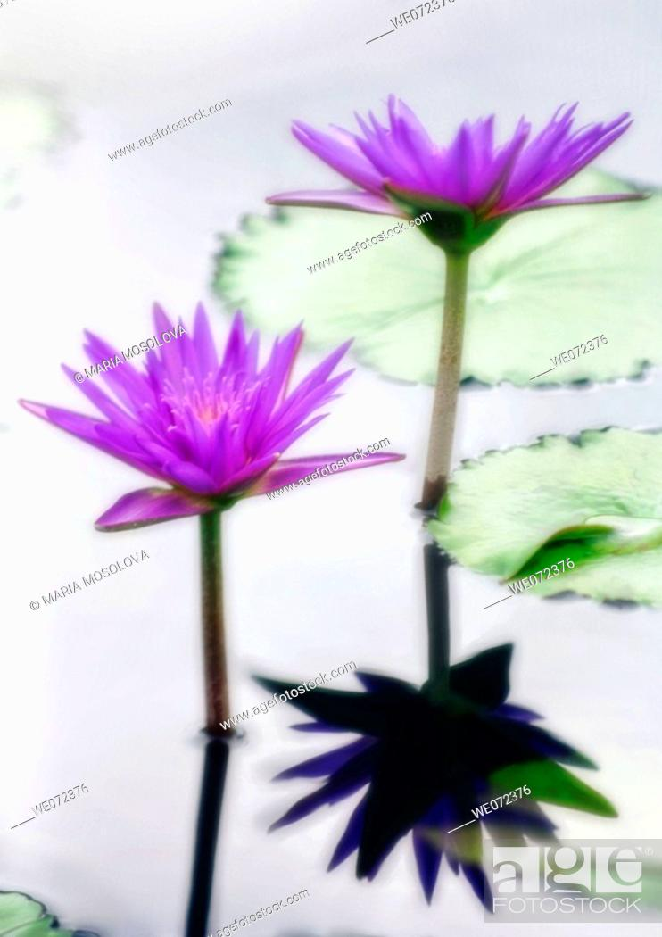 Stock Photo: Water Lily. Nymphaea hybrid. September 2006, Maryland, USA.