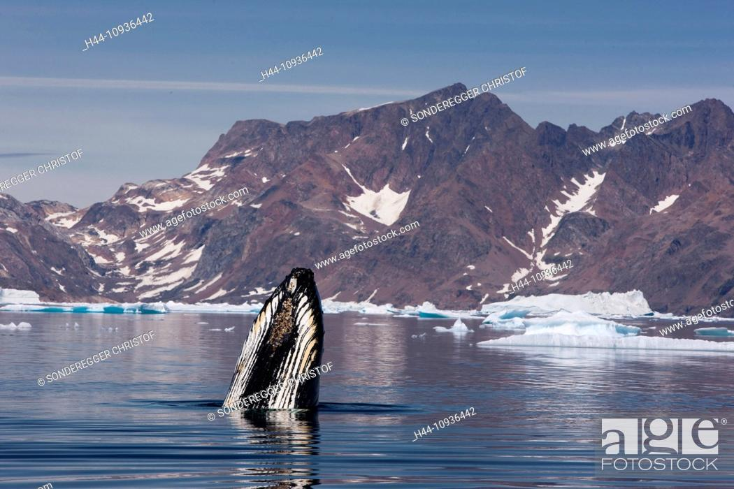 Stock Photo: Whale watching, whale observation, humpback whale, Greenland, East Greenland, whale, whales, icebergs.