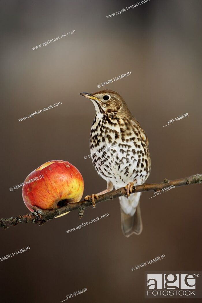 Stock Photo: Song thrush Turdus philomelos feeding on apple  UK  March2008.