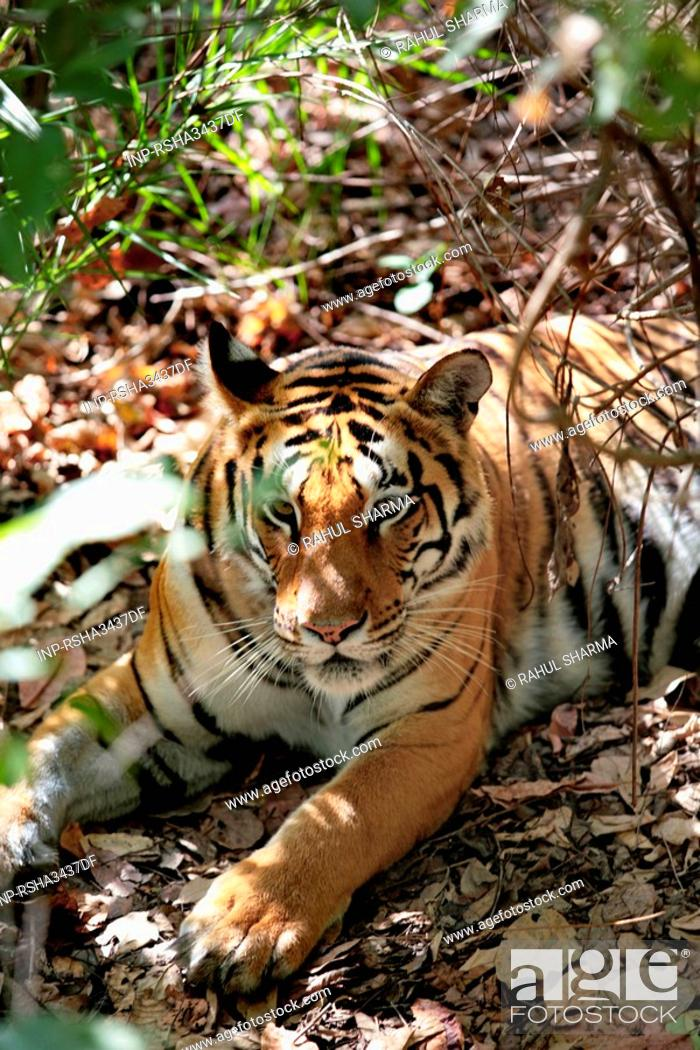 Stock Photo: Tiger.