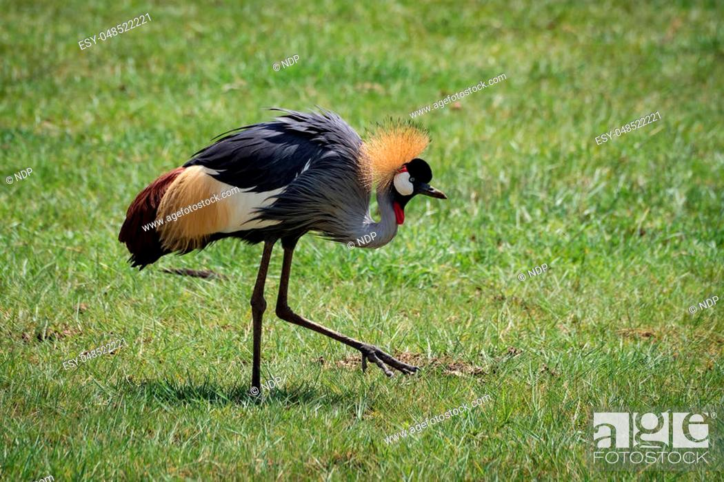 Stock Photo: Grey crowned crane lifting foot on grassland.