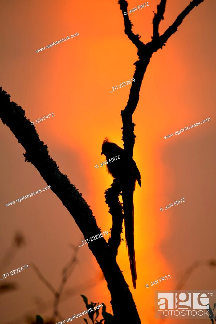 Photo de stock: silhouette of bird at branch during sunset, Uganda.