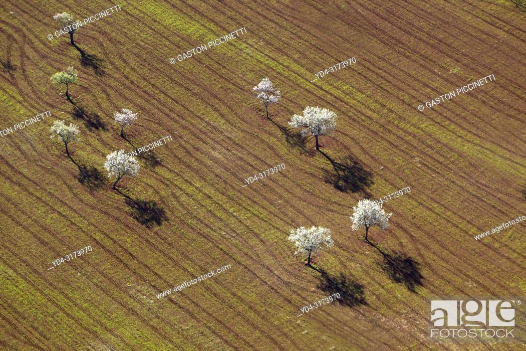 Photo de stock: Aerial view of almond trees in bloom in the field, Mallorca lands, Balearic Island, Spain.