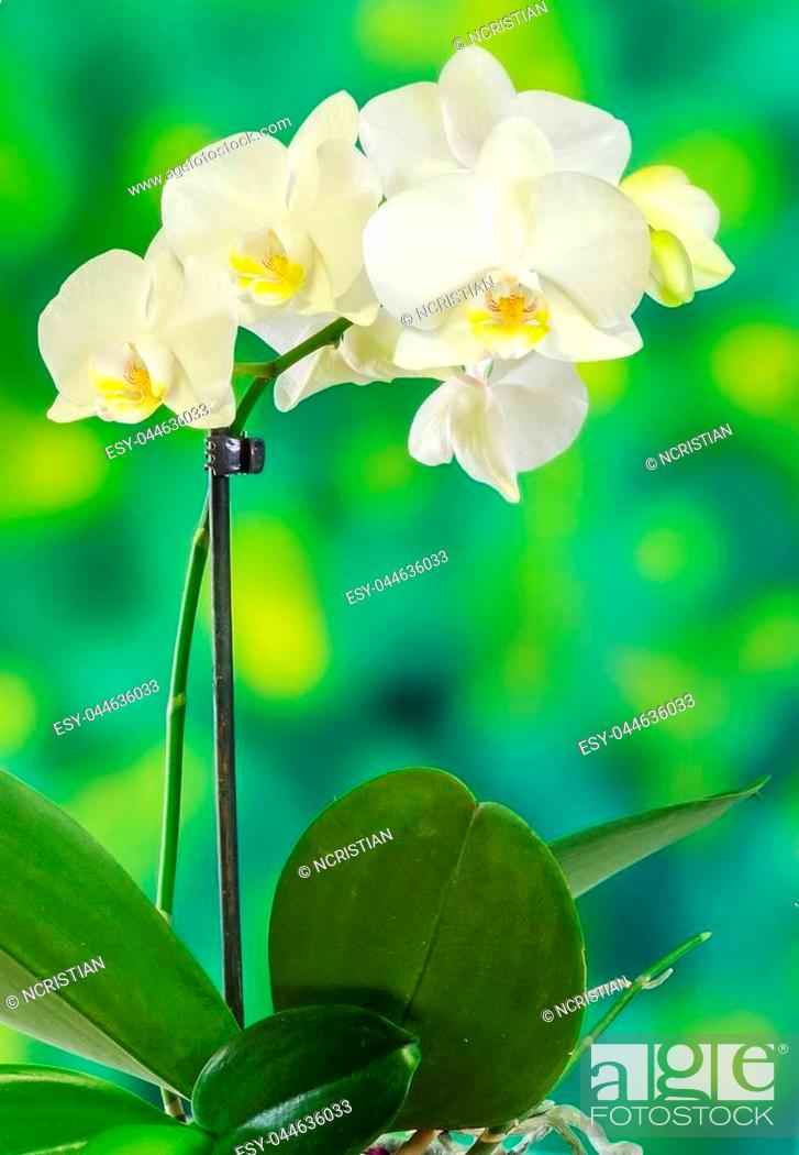 White Branch Orchid Flowers With Green Leaves Orchidaceae