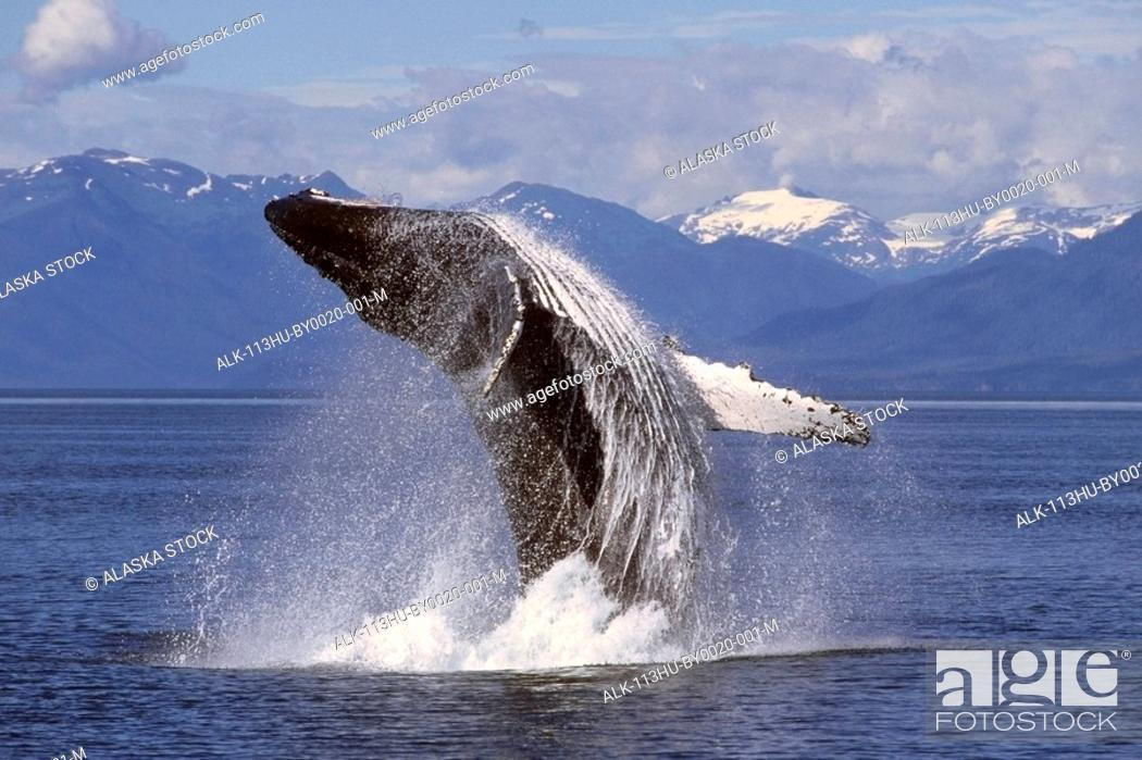 Stock Photo: Humpback whale breaching in Frederick Sound Southeast Alaska Summer Inside Passage.