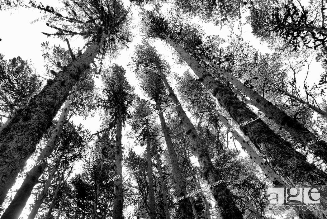 Stock Photo: Pine, Pinus sylvestris, Teruel, Aragon, Spain.