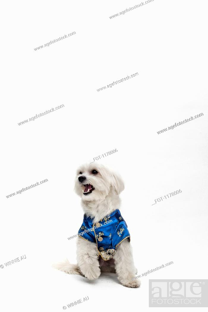 Stock Photo: A Maltipoo wearing a traditional Chinese Cheongsam.