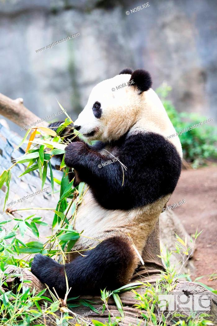 Stock Photo: cute giant panda bear eating bamboo grass.