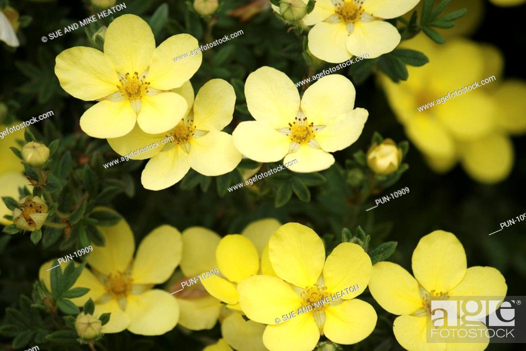 Potentilla In Full Bloom Showing Buds And Fully Open Flowers In May