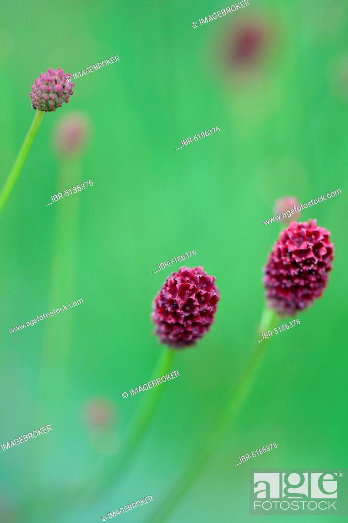 Stock Photo: Great burnet (Sanguisorba officinalis).