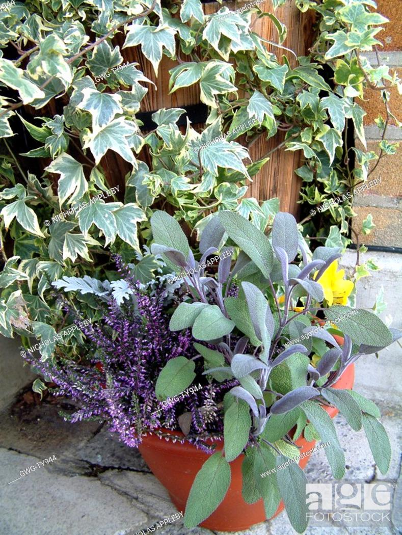 Stock Photo: WINTER CONTAINER SALVIA SAGE ERICA AND HEDERA.