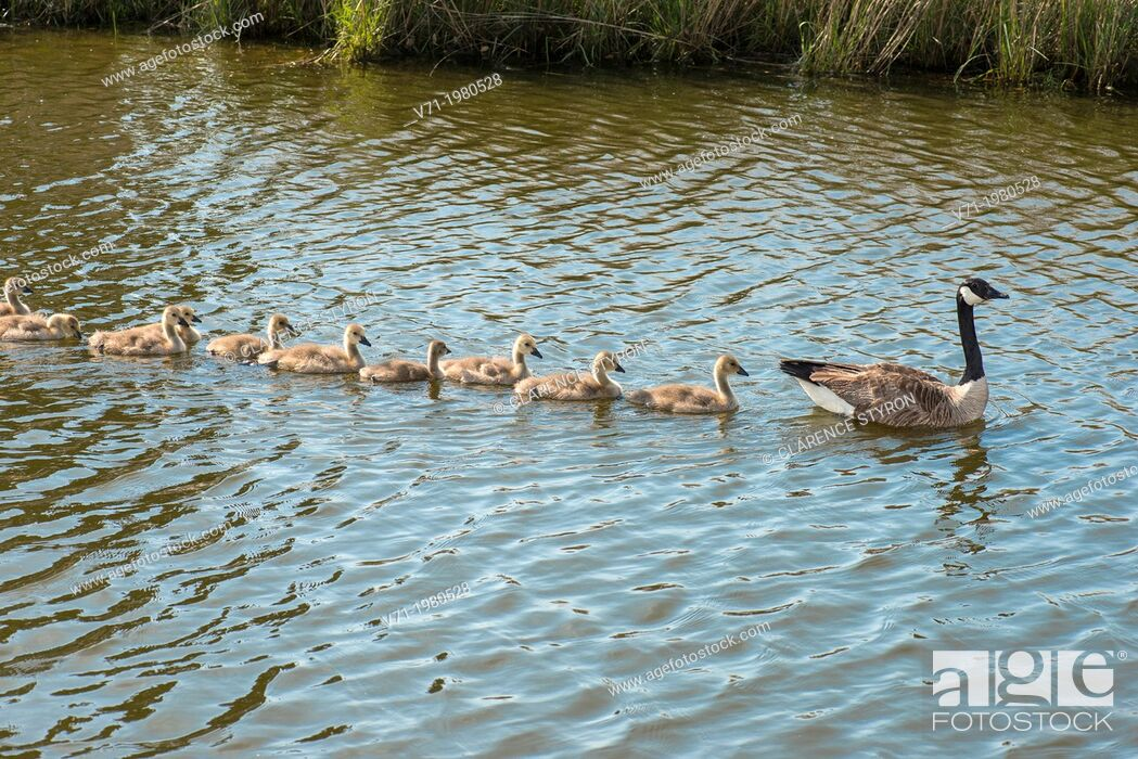 Stock Photo: Canada Geese Branta canadensis Mother leading goslings for swim at Corolla, NC USA.