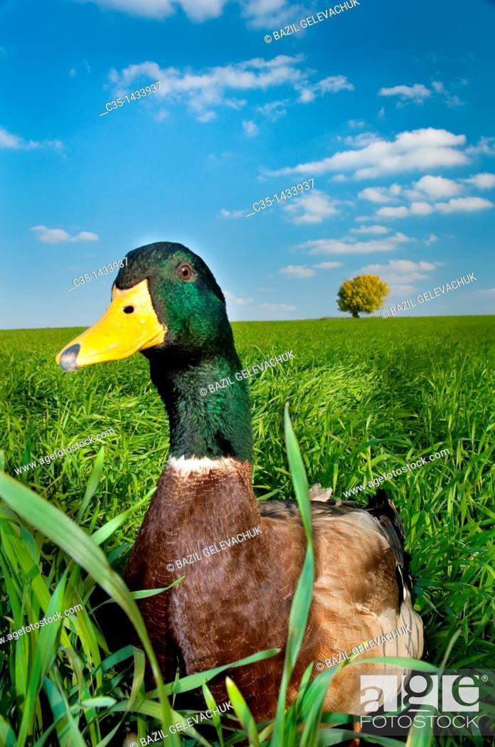 Stock Photo: Duck.