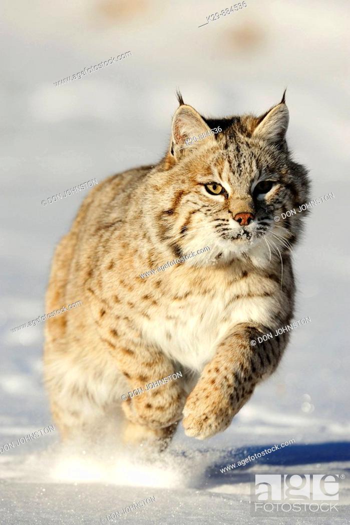 Stock Photo: Bobcat Felis rufus- captive  Baby, first winter.