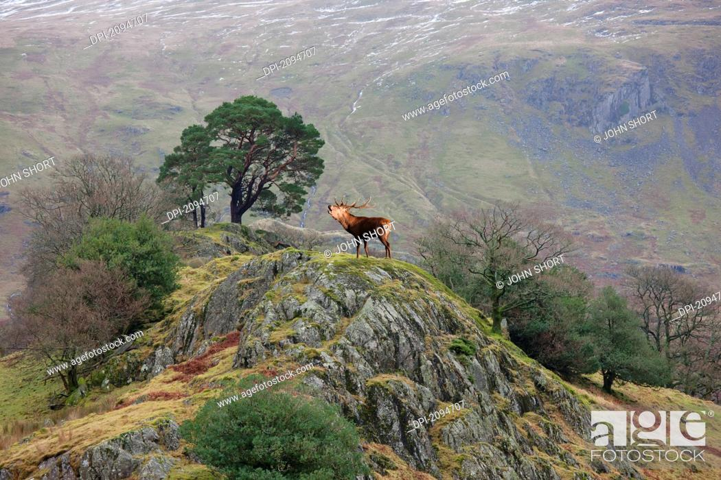 Stock Photo: An elk standing on the top of a rock and calling, cumbria, england.