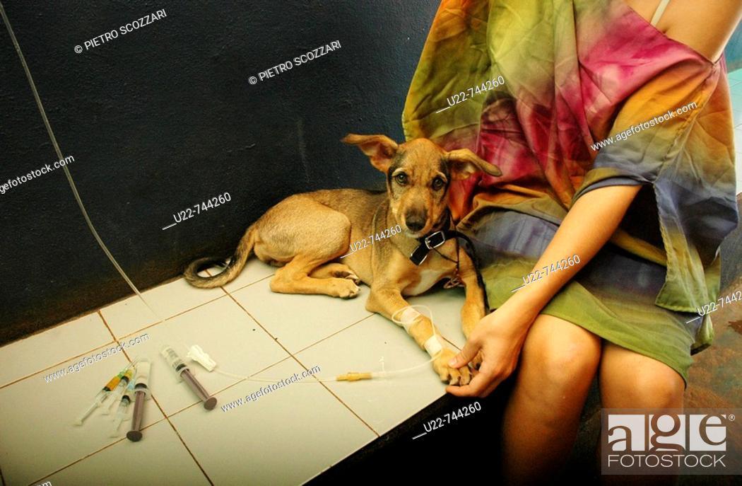 Stock Photo: Assagao Goa, India, sick dog recovering at the International Animal Rescue center.