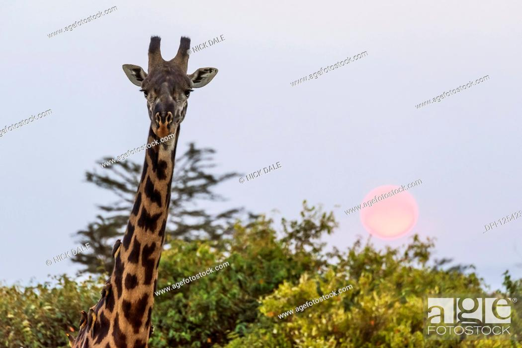 Stock Photo: Close-up of head of giraffe (Giraffa camelopardalis tippelskirchii) at sunset, Maasai Mara National Reserve; Kenya.