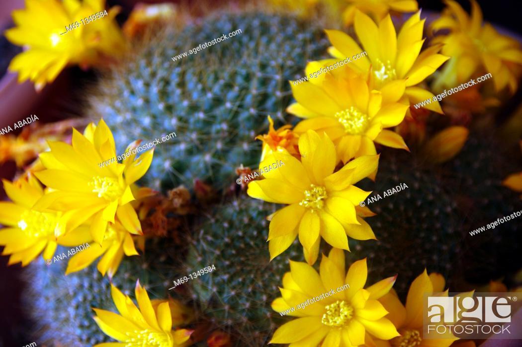 Stock Photo: Yellow flowers of cactus.