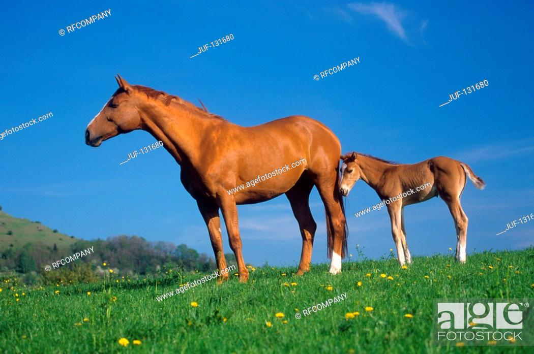 Stock Photo: German warmblood horse with foal on meadow.